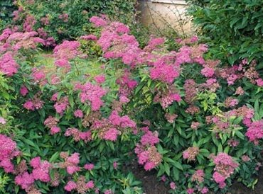 Its Time Spirea Butterfly Bush And Lifting A Tree S Canopy